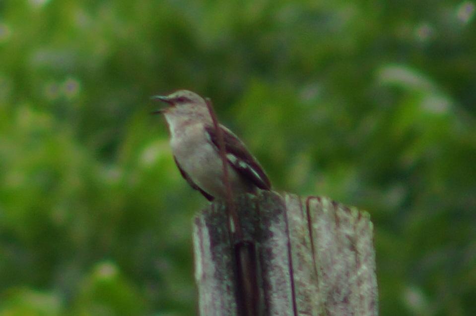 Name:  mockingbird2.jpg Views: 55 Size:  148.6 KB