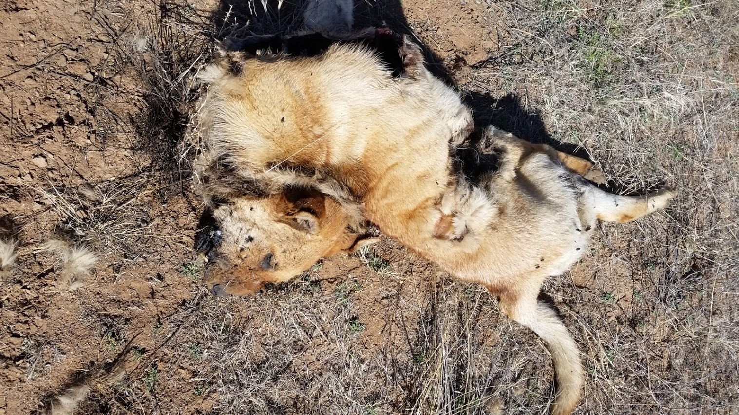 Name:  Mountain LIon pet dog kill.jpg Views: 423 Size:  613.9 KB