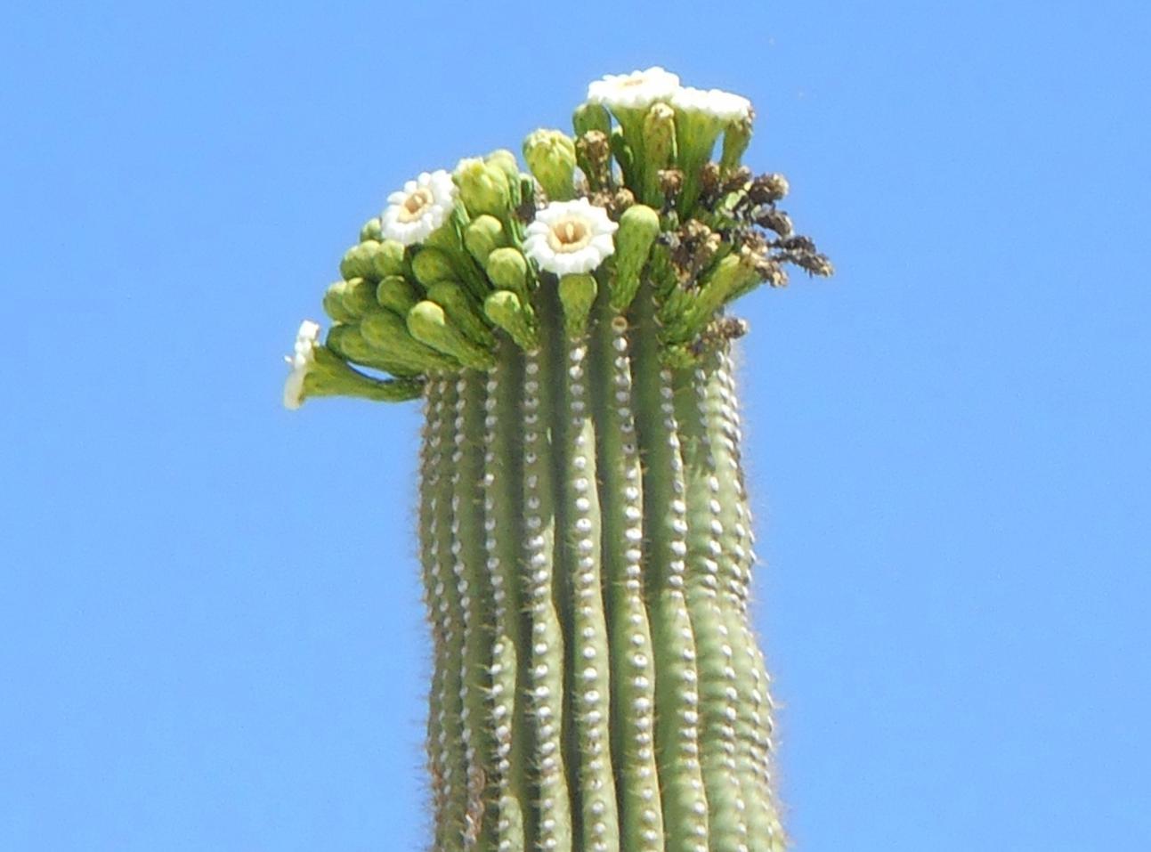 Saguaro Cactus Flower | Cactus flower, Unique cactus ... |Saguaro Cactus Flowers